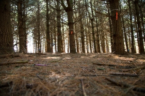 Pine plantation site at BFEC where Cameron Peters and Jennie VanMeter are measuring soil respiration.
