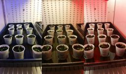 Morgan Engmann is growing Arabadopsis mutants under blue, white and red light.