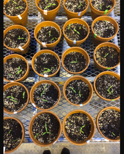 Kristen Toms and Kelly Pan are proud plant parents, testing the affects of salinity on the growth of tomato plants.