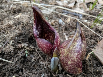 Early Spring at the BFEC: a Skunk Cabbage (Symplocarpus foetidus) emerges from the banks of Wolf Run.